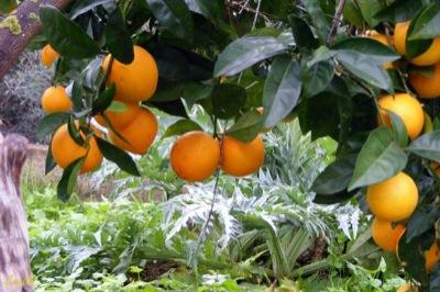Naranjas de Telde