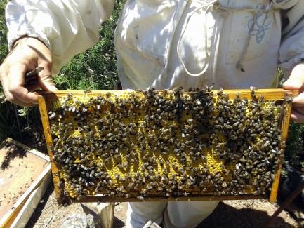 la abeja del guanche